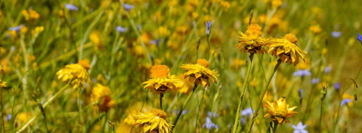Paper daisies n bluebells, H.Wedd