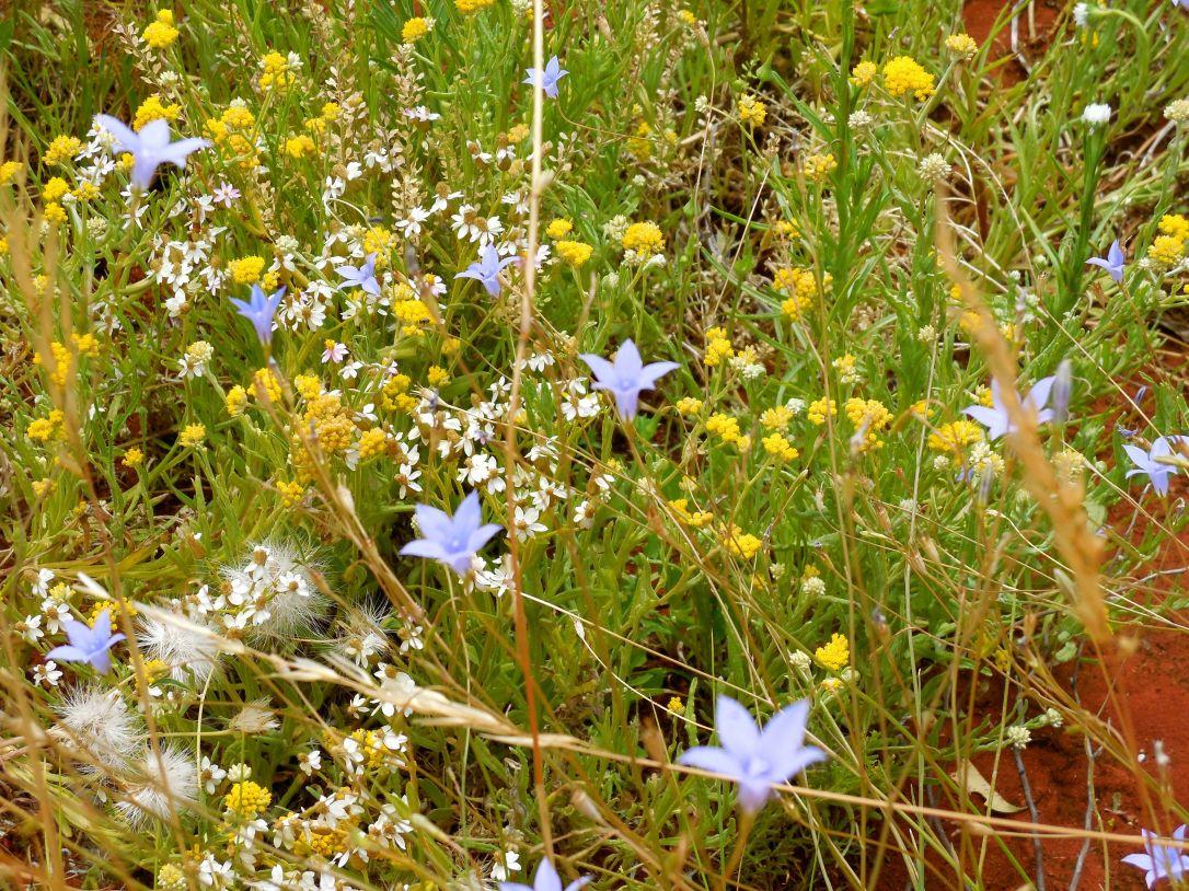 bluebells in the desert