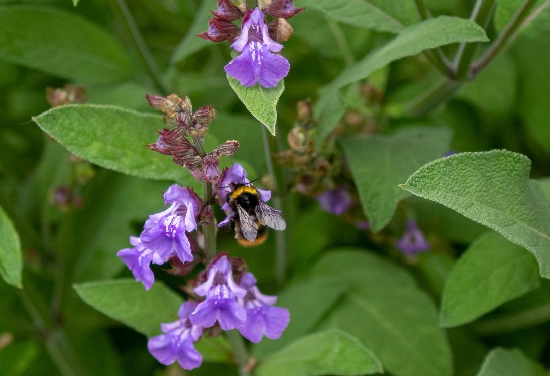 Sage flower