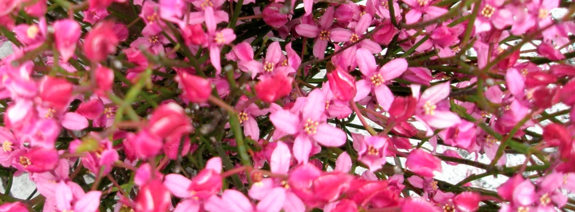 Boronia flower code