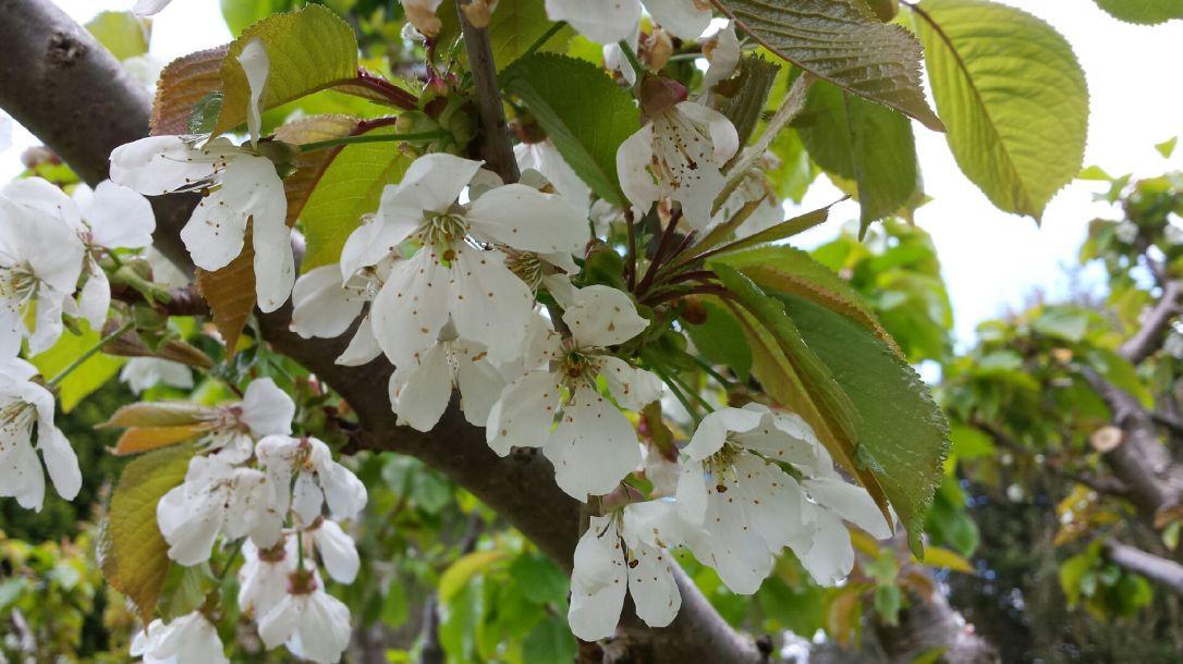 Cherry Blossom Code