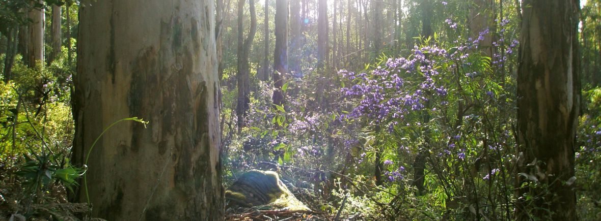 Tree Hovea