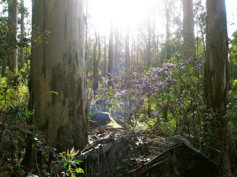 Tree Hovea