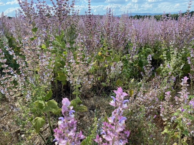 Clary Sage in Provence