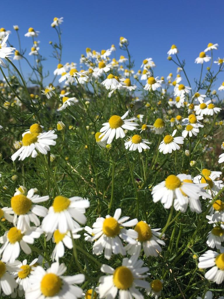 Chamomile flower code