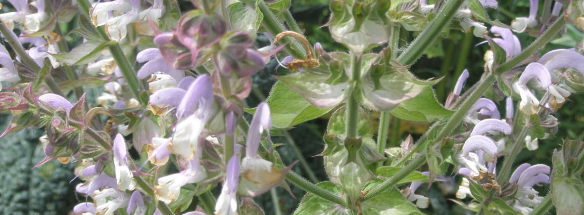 Clary Sage Flower Code
